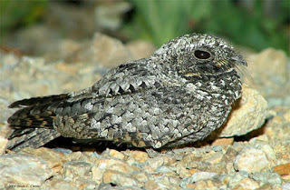 koman poorwill in hindi