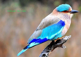 Indian Roller In Hindi