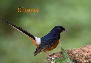 Shama Birds In Hindi