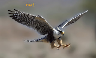 falcon in hindi