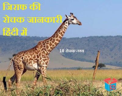 about giraffe in hindi