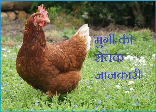 Hen Information In Hindi