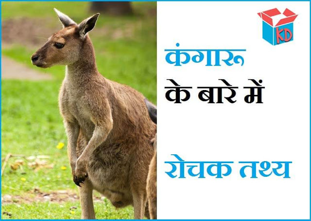Information About Kangaroo In Hindi