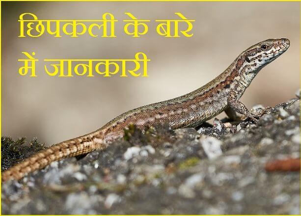 Lizard Information In Hindi