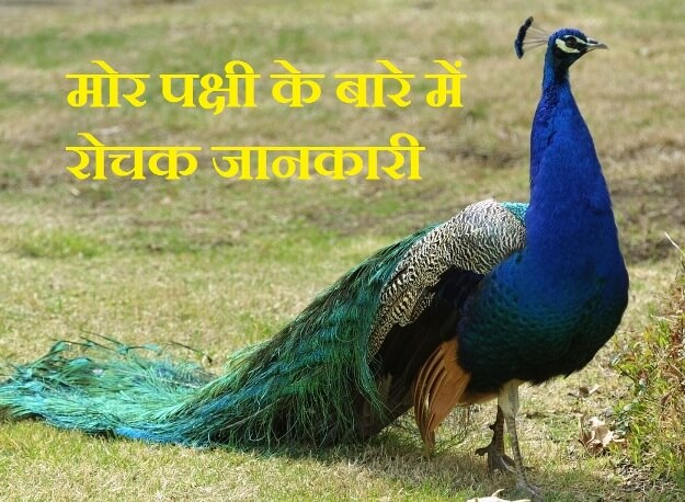 information about peacock in hindi