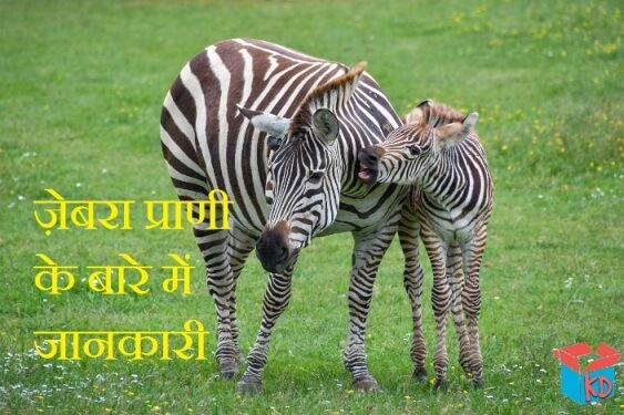 information about zebra in hindi