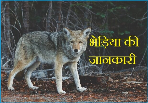 wolf information in hindi