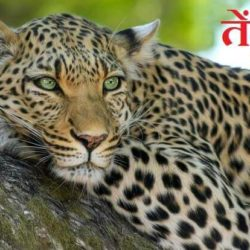 About Leopard In Hindi