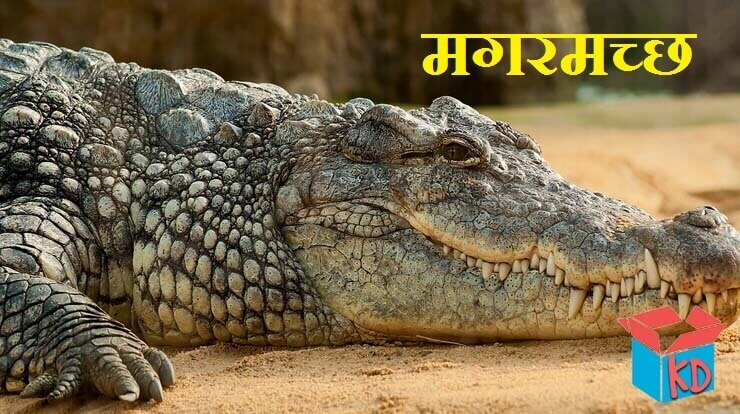 Crocodile In Hindi