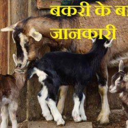 Goat Information In Hindi
