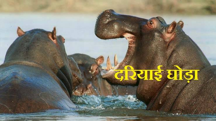 Hippopotamus Information In Hindi
