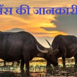 Information About Buffalo In Hindi