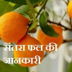 Orange Fruit In Hindi