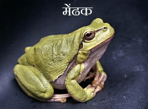 Frog Information In Hindi