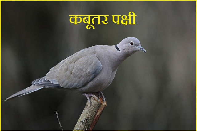 information about pigeon in hindi