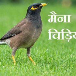 myna information in hindi