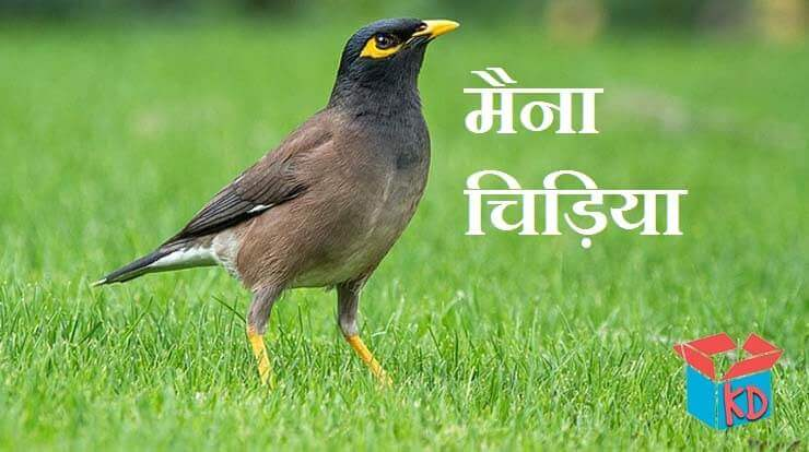 myna information in hindi