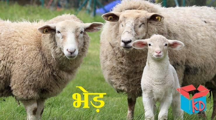 sheep information in hindi