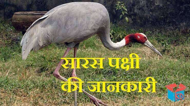 Crane Bird In Hindi
