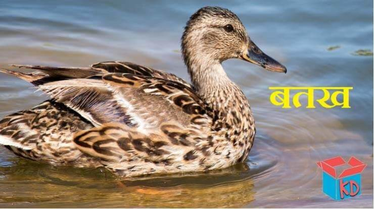 Information About Duck In Hindi