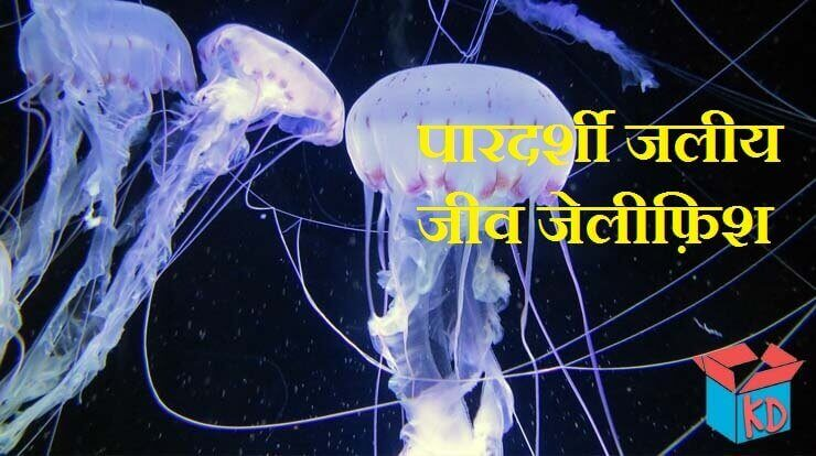Jellyfish In Hindi
