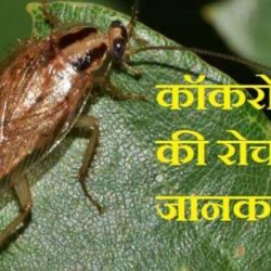 Cockroach Information In Hindi