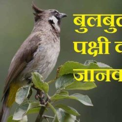 Information About Bulbul In Hindi