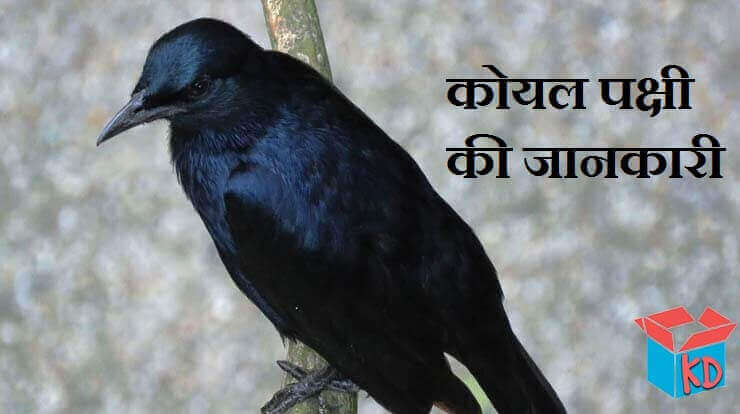 About Cuckoo In Hindi