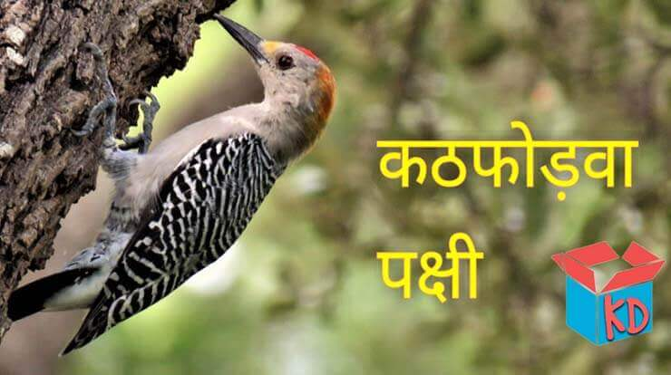 Information About Woodpecker In Hindi