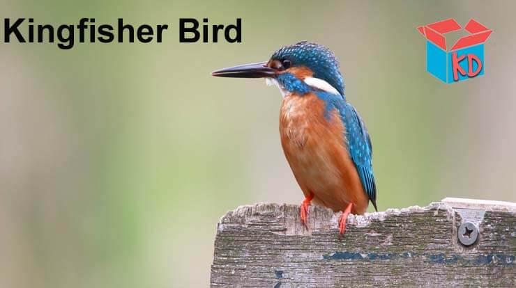 Kingfisher Bird Information In Hindi