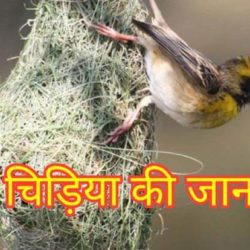 Weaver Bird Information In Hindi
