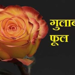 Information About Rose In Hindi