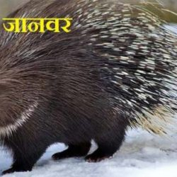 Porcupine Animal In Hindi