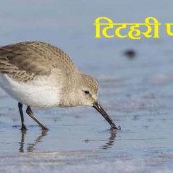 Sandpiper Bird In Hindi