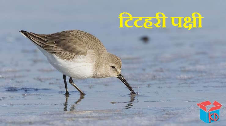 Sandpiper Bird In Hindi