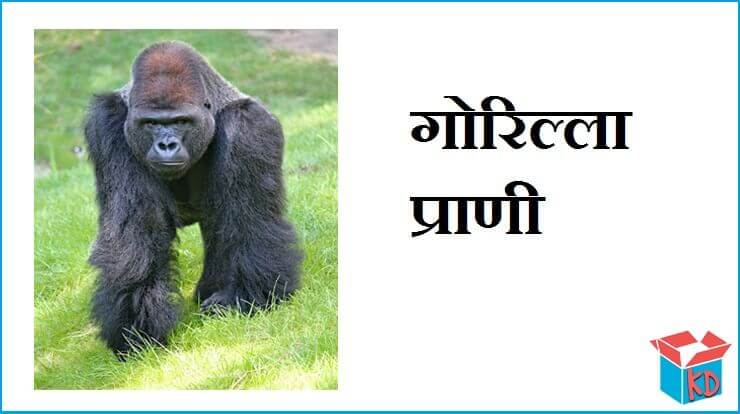 Gorilla Information In Hindi
