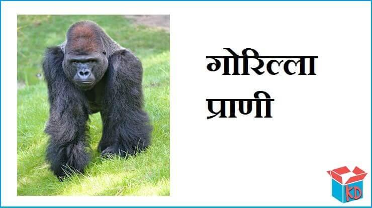Gorilla Information In Hindi