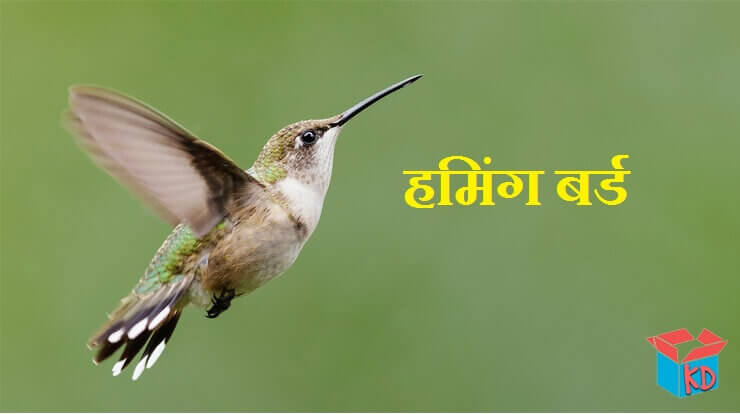 Information About Hummingbird In Hindi