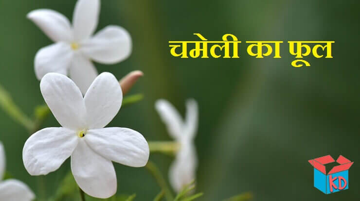 Jasmine Flower Information In Hindi