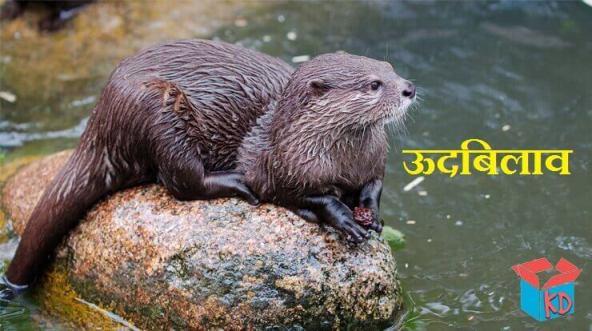 Otter In Hindi