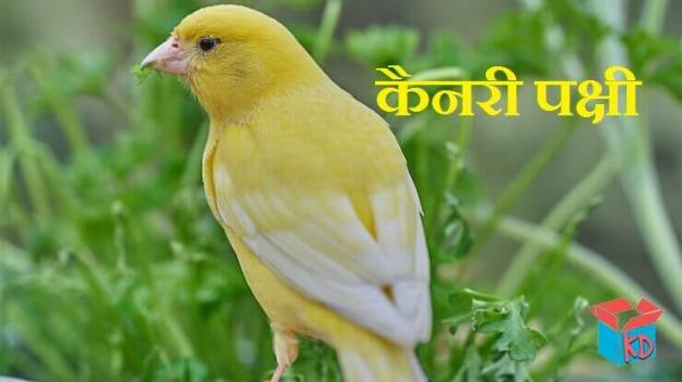 Canary Bird In Hindi