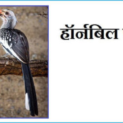 Hornbill Bird In Hindi