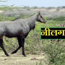 Nilgai In Hindi