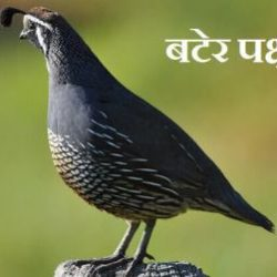 Quail Bird In Hindi