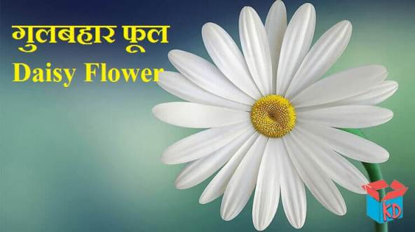 Daisy Flower In Hindi