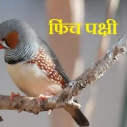 Finch Bird Information In Hindi