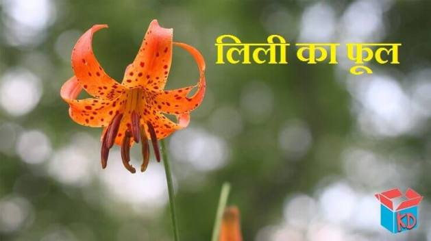Lily Flower Information In Hindi