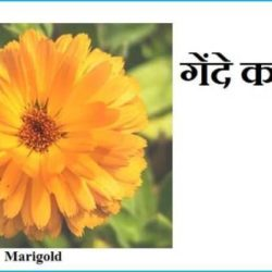 Marigold Flower Information In Hindi