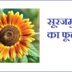 Sunflower In Hindi