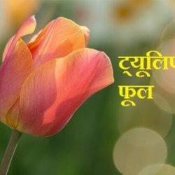 Tulip Flower Information In Hindi